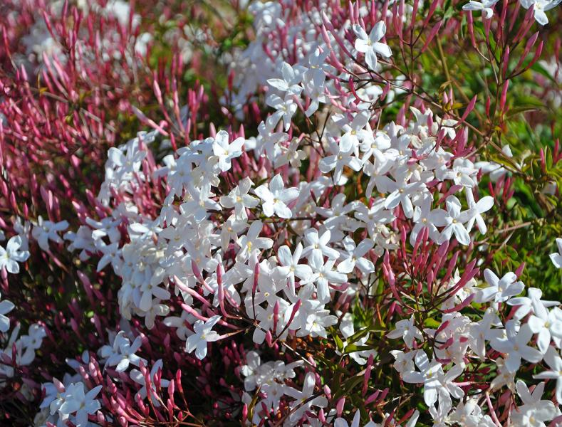 Jasmin, zahvalna biljka za uzgajanje na otvorenom